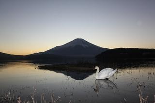 夕方に白鳥と1.jpg
